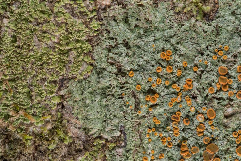 Brick-spored firedot lichen Brigantiaea leucoxantha with Phyllopsora parvifolia on a tree in Big Creek Scenic Area of Sam Houston National Forest. Shepherd, Texas, February 1, 2019