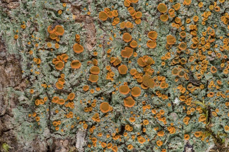 Brick-spored firedot lichen Brigantiaea leucoxantha on tree bark in Big Creek Scenic Area of Sam Houston National Forest. Shepherd, Texas, February 1, 2019