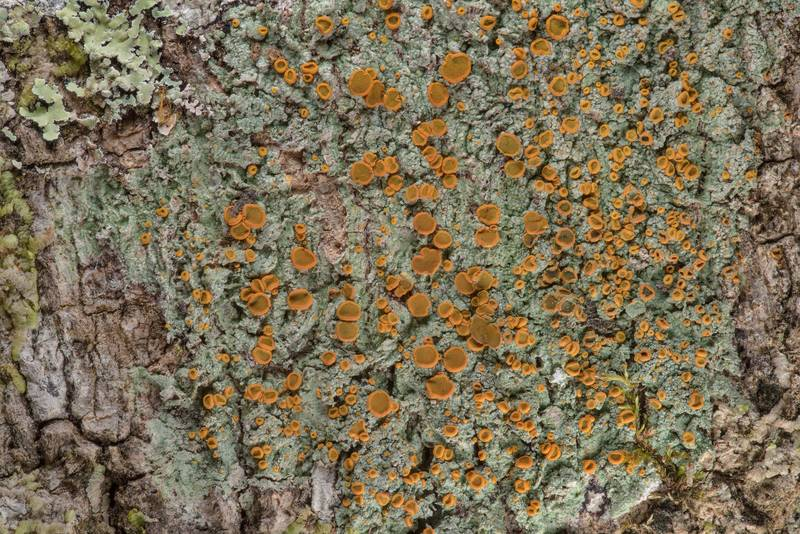 Brick-spored firedot lichen Brigantiaea leucoxantha with apothecia on tree bark in Big Creek Scenic Area of Sam Houston National Forest. Shepherd, Texas, February 1, 2019