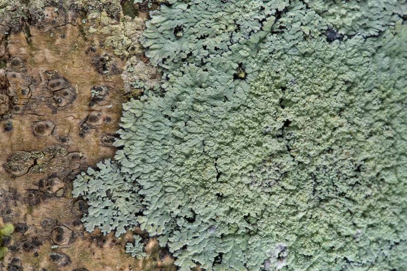 "Lobed cotton lichen (Crocynia pyxinoides, <B>Phyllopsora pyxinoides</B>) with soredia in Big Creek Scenic Area of Sam Houston National Forest. Shepherd, Texas, <A HREF=""../date-en/2019-02-01.htm"">February 1, 2019</A>"