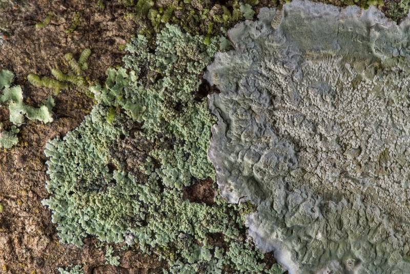"Lobed cotton lichen (Crocynia pyxinoides, <B>Phyllopsora pyxinoides</B>) and Cryptothecia striata in Big Creek Scenic Area of Sam Houston National Forest. Shepherd, Texas, <A HREF=""../date-en/2019-02-01.htm"">February 1, 2019</A>"