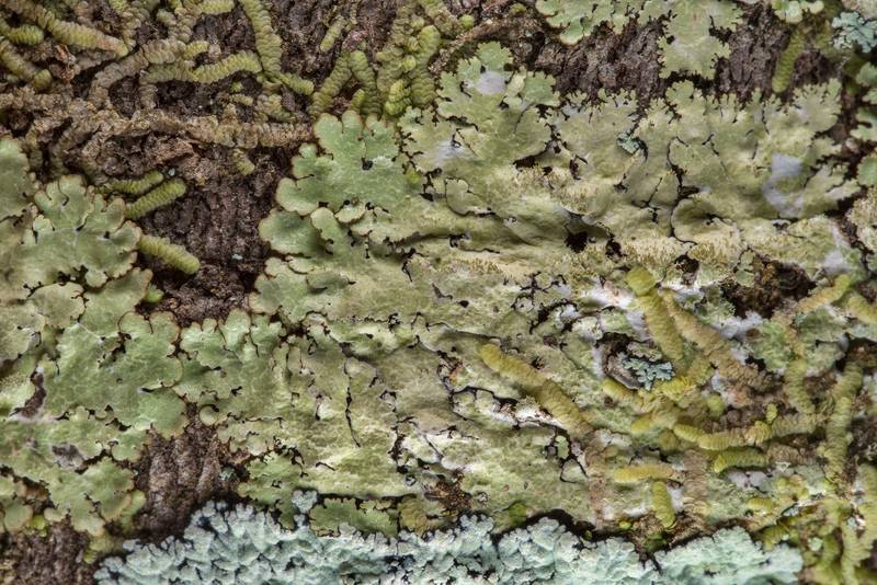 Shield lichen (Canoparmelia caroliniana) on a deciduous tree in Big Creek Scenic Area of Sam Houston National Forest. Shepherd, Texas, February 1, 2019