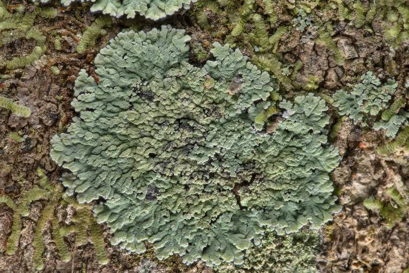 Lobed cotton lichen (Crocynia pyxinoides) on a tree in Big Creek Scenic Area of Sam Houston National Forest. Shepherd, Texas, February 1, 2019