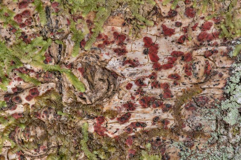 Texture of bark rash lichen (Pyrenula cruenta) in Big Creek Scenic Area of Sam Houston National Forest. Shepherd, Texas, February 1, 2019