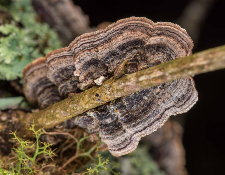"Fungus (mushroom) <B>Hymenochaetopsis tabacina</B> (Pseudochaete tabacina) on a twig in Lick Creek Park. College Station, Texas, <A HREF=""../date-en/2019-02-03.htm"">February 3, 2019</A>"
