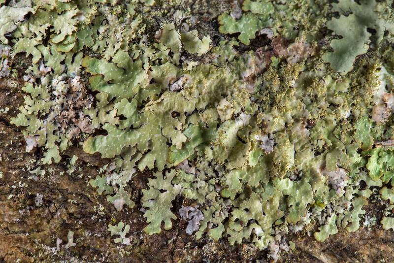 "Rough speckled shield lichen (<B>Punctelia rudecta</B>) on a tree in Lick Creek Park. College Station, Texas, <A HREF=""../date-en/2019-02-03.htm"">February 3, 2019</A>"