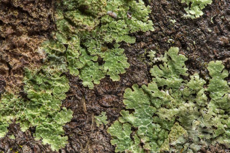 "Rough speckled shield lichen (<B>Punctelia rudecta</B>) on tree bark in Lick Creek Park. College Station, Texas, <A HREF=""../date-en/2019-02-03.htm"">February 3, 2019</A>"