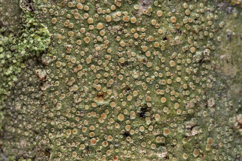 "Mealy rim-lichen (<B>Lecanora strobilina</B>) on a tree in Lick Creek Park. College Station, Texas, <A HREF=""../date-en/2019-02-03.htm"">February 3, 2019</A>"