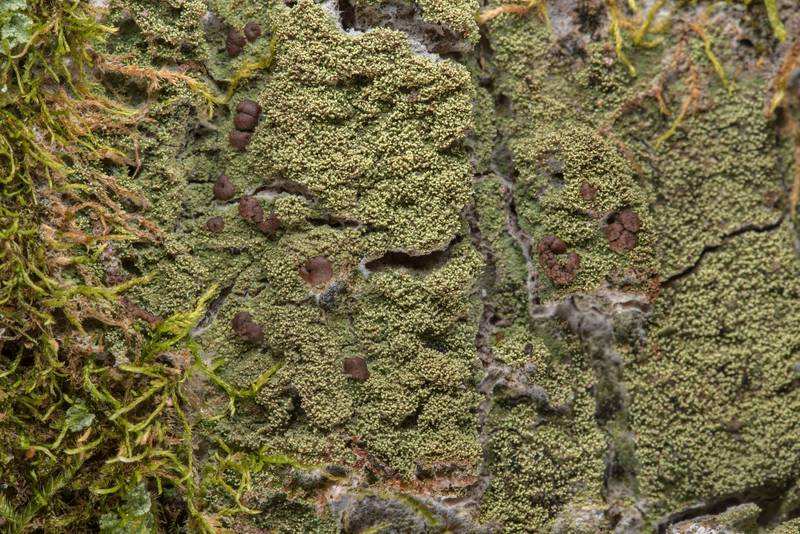 Lichen Phyllopsora isidiotyla on a tree on Lone Star Hiking Trail near Pole Creek in Sam Houston National Forest. Richards, Texas, February 9, 2019
