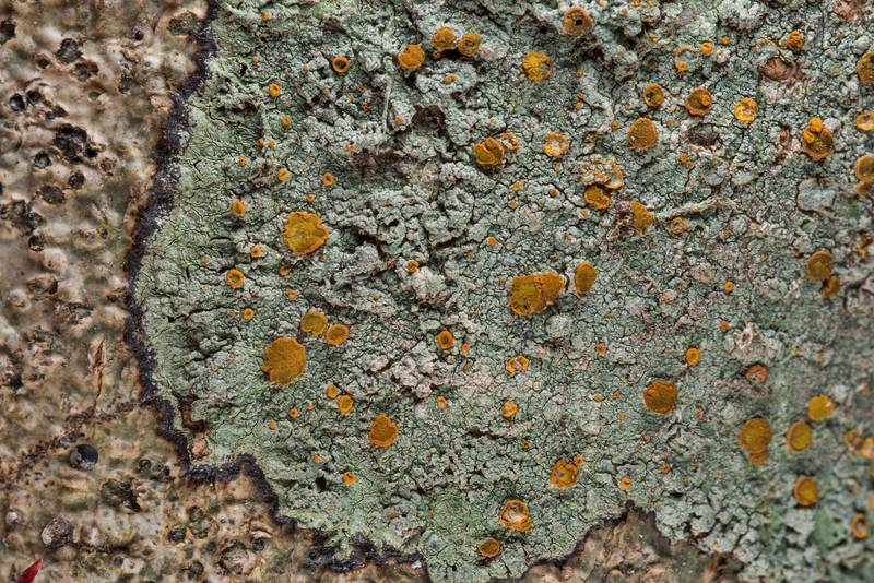 Brick-spored firedot lichen Brigantiaea leucoxantha on an oak(?) on Lone Star Hiking Trail near Pole Creek in Sam Houston National Forest. Richards, Texas, February 9, 2019