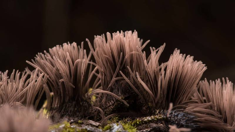 Brown sporangia of chocolate tube slime mold (Stemonitis fusca) on a fallen pine on Lone Star Hiking Trail near Pole Creek in Sam Houston National Forest. Richards, Texas, February 9, 2019