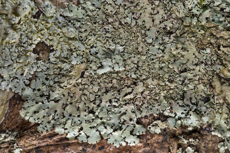 Loop lichen Parmelinopsis minarum (Hypotrachyna minarum) on a tree on Lone Star Hiking Trail near Pole Creek in Sam Houston National Forest. Richards, Texas, February 9, 2019