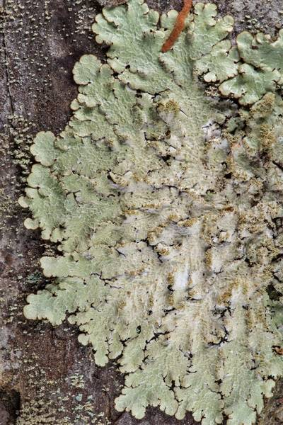 Carolina shield lichen (Canoparmelia caroliniana) on a pine on Lone Star Hiking Trail near Pole Creek in Sam Houston National Forest. Richards, Texas, February 9, 2019