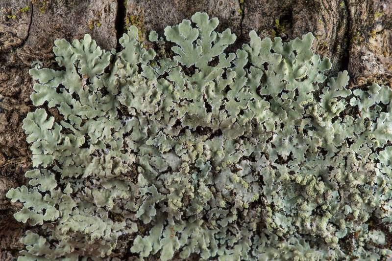 Streaked rosette lichen (Physcia atrostriata) on Lone Star Hiking Trail near Pole Creek in Sam Houston National Forest. Richards, Texas, February 9, 2019