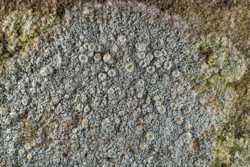 Rosy saucer lichen (Ochrolechia trochophora) on a tombstone in Old Independence Cemetery near Independence. Texas, February 10, 2019