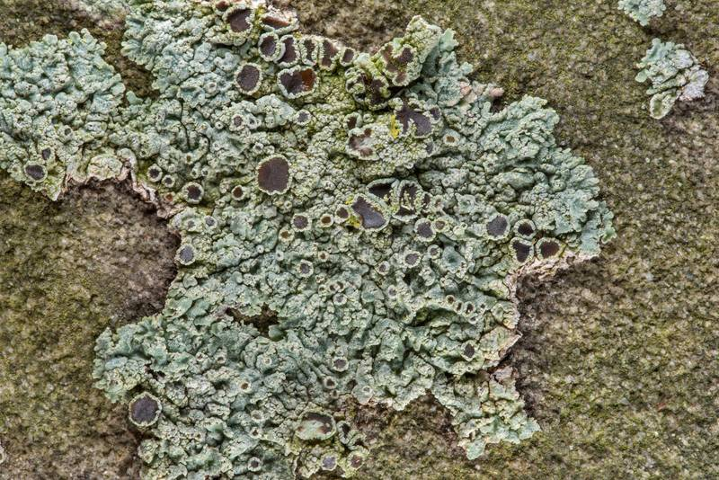 Spotted rosette lichen (Physcia pumilior(?)) on a tombstone in Old Independence Cemetery near Independence. Texas, February 10, 2019