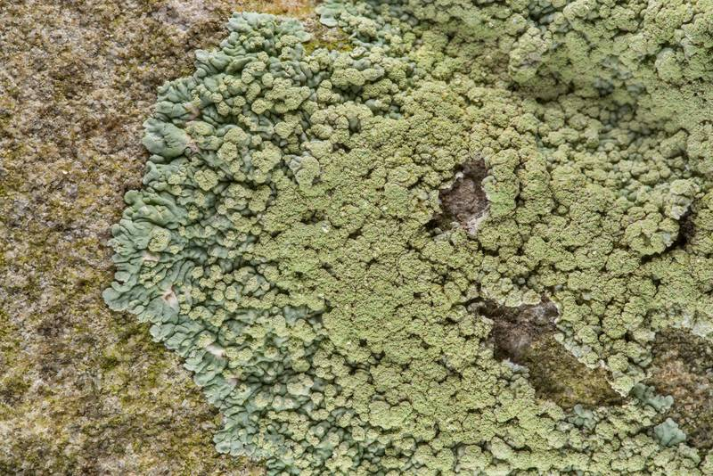 Greenish buttoned rosette lichen (Pyxine) on a tombstone in Old Independence Cemetery near Independence. Texas, February 10, 2019
