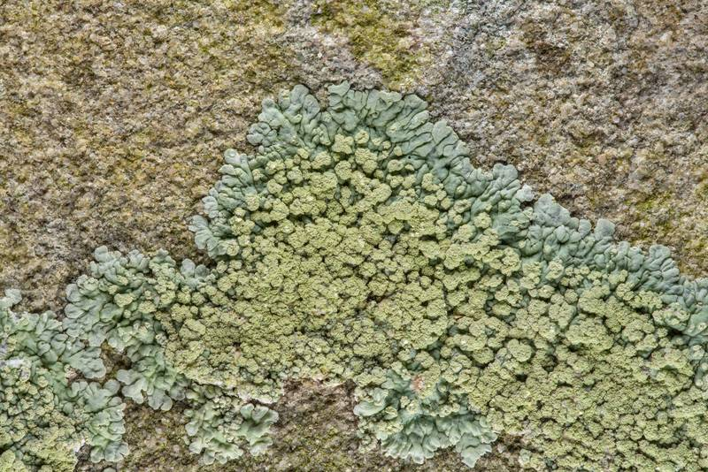 Greenish buttoned rosette lichen (Pyxine) on limestone in Old Independence Cemetery near Independence. Texas, February 10, 2019