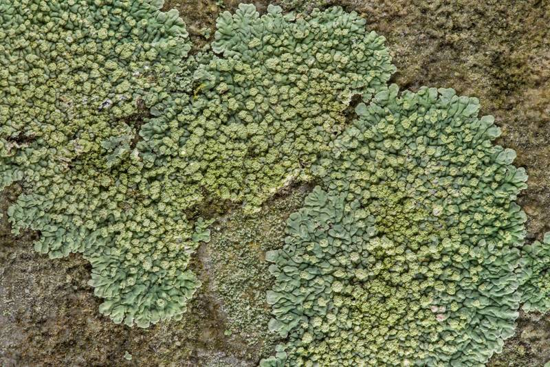Greenish buttoned rosette lichen (Pyxine) with soredia on a tombstone in Old Independence Cemetery near Independence. Texas, February 10, 2019