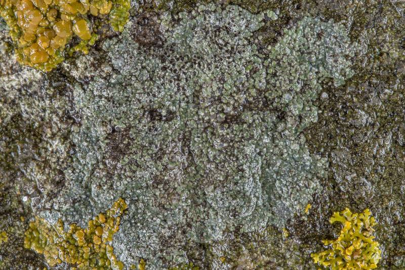 Pepper-spore lichen (Rinodina) on a tombstone in Old Independence Cemetery near Independence. Texas, February 10, 2019