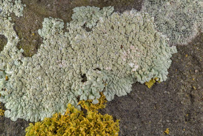 Buttoned rosette lichen (Pyxine) with other lichens in Old Independence Cemetery near Independence. Texas, February 10, 2019