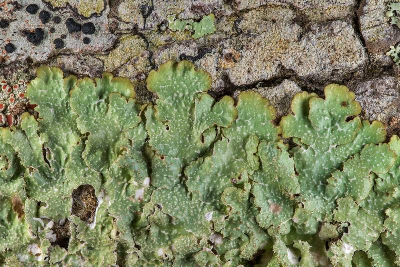 "Rough speckled shield lichen (<B>Punctelia rudecta</B>) on a tree on Alligator Branch section of Lone Star Hiking Trail in Sam Houston National Forest near Huntsville. Texas, <A HREF=""../date-en/2019-02-17.htm"">February 17, 2019</A>"