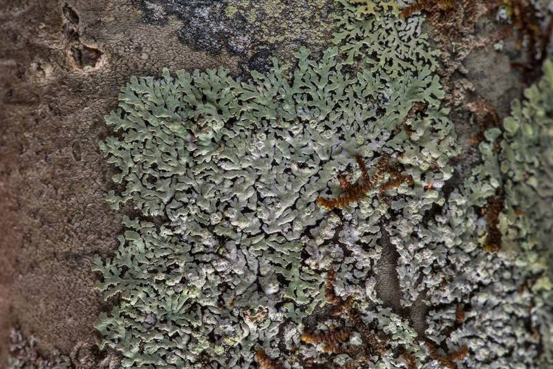 Rosette lichen Physcia erumpens(?) on a tree on Alligator Branch section of Lone Star Hiking Trail in Sam Houston National Forest near Huntsville. Texas, February 17, 2019