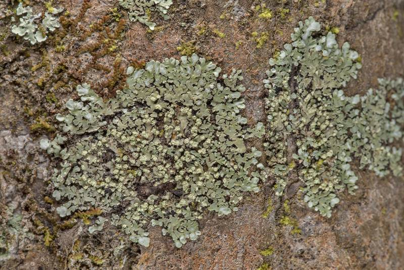 "Buttoned rosette lichen <B>Pyxine sorediata</B>(?) on Alligator Branch section of Lone Star Hiking Trail in Sam Houston National Forest near Huntsville. Texas, <A HREF=""../date-en/2019-02-17.htm"">February 17, 2019</A>"