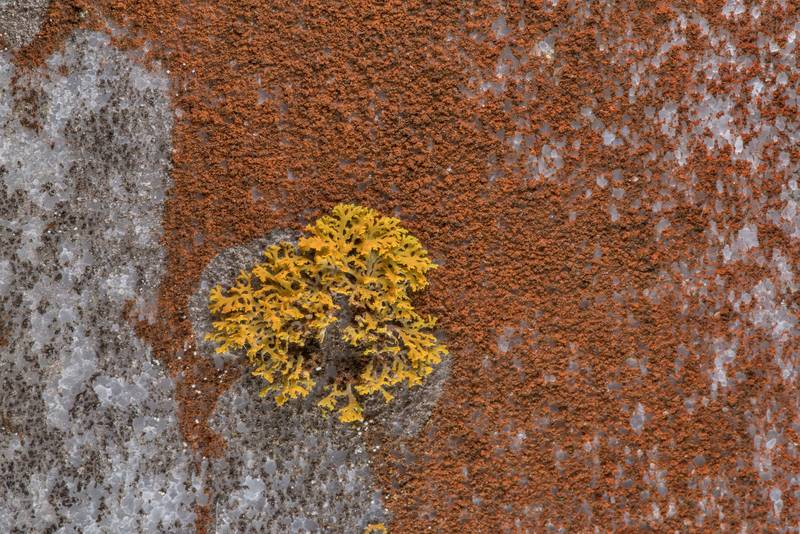 "Sunburst lichen <B>Xanthomendoza weberi</B> and some powdery red lichen on a marble tomb in Ebenezer Cemetery near Huntsville, Texas, <A HREF=""../date-en/2019-02-17.htm"">February 17, 2019</A>"