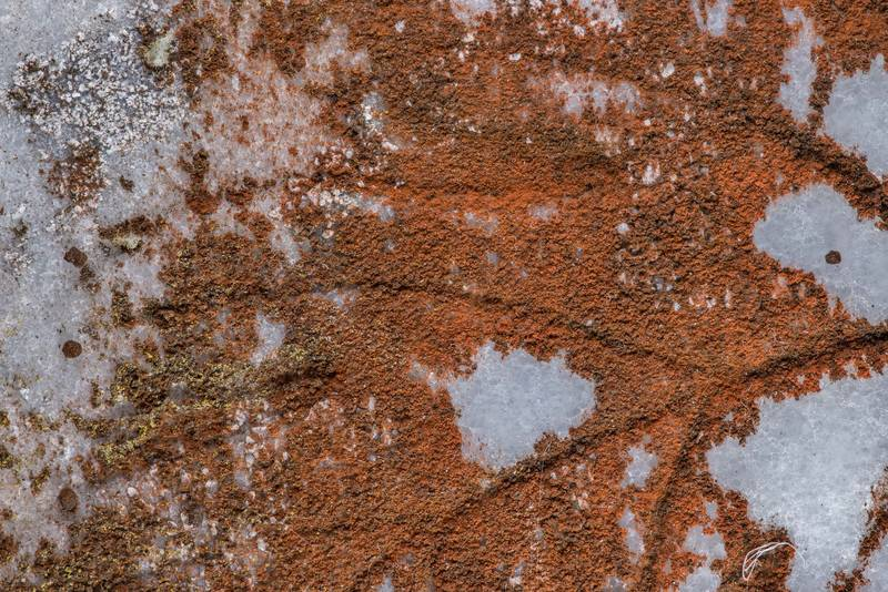 Some rusty red powdery lichen on marble surface in Ebenezer Cemetery near Huntsville, Texas, February 17, 2019