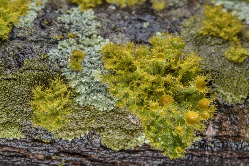 Golden eye lichen (Teloschistes chrysophthalmus) with other lichens on a branch of huisache(?) tree in abandoned TAMU Horticultural Gardens in Texas A and M University. College Station, Texas, February 22, 2019