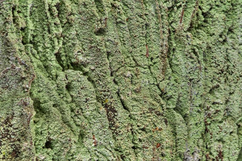 Powdery lichen Lepraria on bark of a big pine tree in area of Winters Bayou in Sam Houston National Forest, east from Waverly. Texas, February 23, 2019