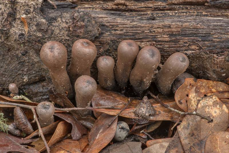 Young Devil's Urn mushrooms (Urnula craterium) in area of Winters Bayou in Sam Houston National Forest, east from Waverly. Texas, February 23, 2019
