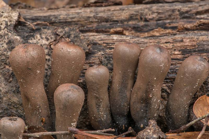 Devil's Urn mushrooms (Urnula craterium) growing from wood submerged in soil in area of Winters Bayou in Sam Houston National Forest, east from Waverly. Texas, February 23, 2019
