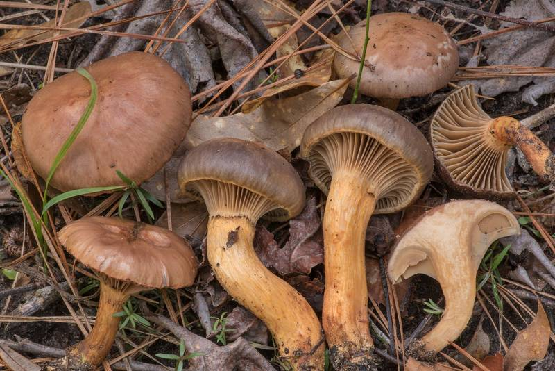 Pine spike mushrooms (wine-cap Chroogomphus, Chroogomphus vinicolor, Gomphidius vinicolor) on Lone Star Hiking Trail south from Stubblefield Campground in Sam Houston National Forest. Huntsville, Texas, February 23, 2019