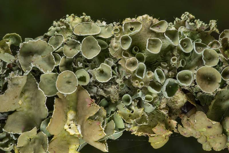 "Perforated ruffle lichen (<B>Parmotrema perforatum</B>) on a fallen oak twig in Washington-on-the-Brazos State Historic Site. Washington, Texas, <A HREF=""../date-en/2019-02-27.htm"">February 27, 2019</A>"