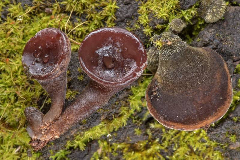 "Young Jew's ear mushrooms (<B>Auricularia auricula-judae</B> complex) on a fallen oak on Lone Star Hiking Trail near Pole Creek in Sam Houston National Forest. Richards, Texas, <A HREF=""../date-en/2019-03-01.htm"">March 1, 2019</A>"