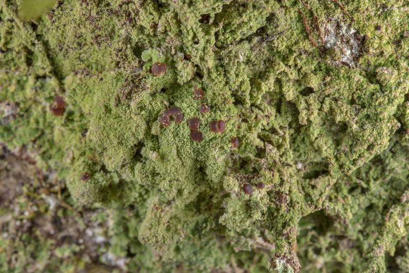 "Lichen <B>Phyllopsora confusa</B> on a tree on Caney Creek Trail (Little Lake Creek Loop Trail) in Sam Houston National Forest near Huntsville. Texas, <A HREF=""../date-en/2019-03-02.htm"">March 2, 2019</A>"