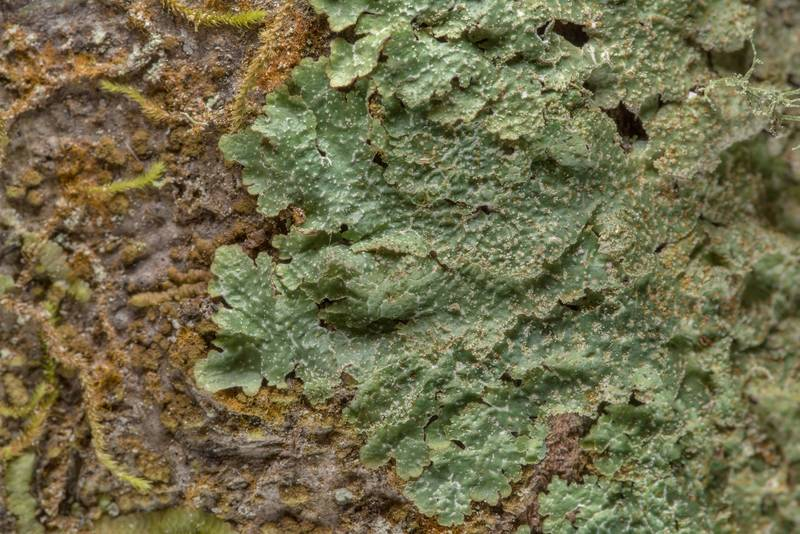 "Rough speckled shield lichen (<B>Punctelia rudecta</B>) on Caney Creek Trail (Little Lake Creek Loop Trail) in Sam Houston National Forest near Huntsville. Texas, <A HREF=""../date-en/2019-03-02.htm"">March 2, 2019</A>"