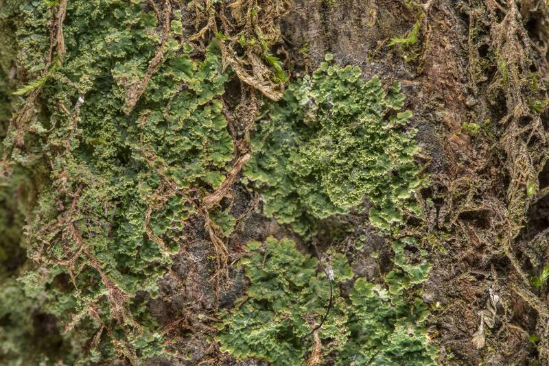 Lace-scale lichen Phyllopsora parvifolia on a tree on Caney Creek Trail (Little Lake Creek Loop Trail) in Sam Houston National Forest near Huntsville. Texas, March 2, 2019