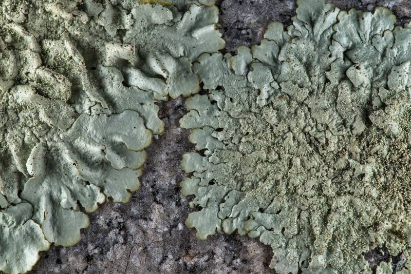Peppered rock-shield lichen (Xanthoparmelia conspersa) on a granite tombstone in City Cemetery. Bryan, Texas, March 3, 2019