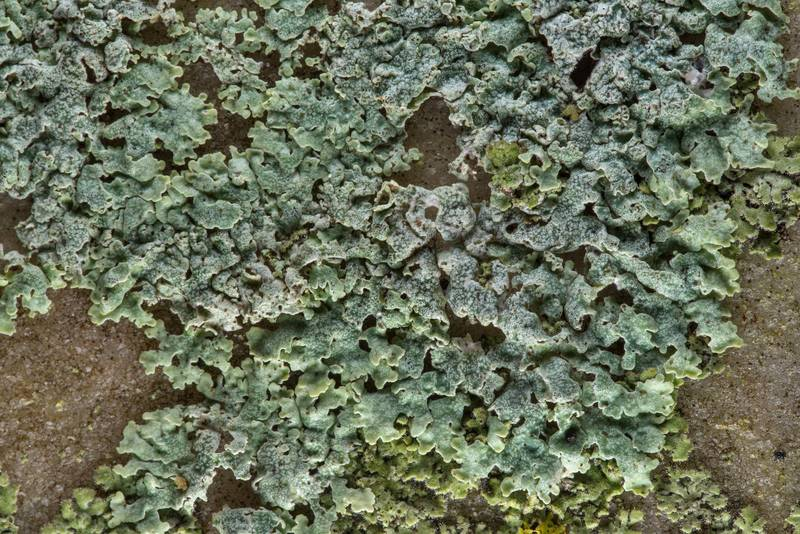 Physcia(?) lichen on a marble tomb in City Cemetery. Bryan, Texas, March 3, 2019
