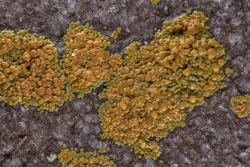 Firedot lichen Caloplaca squamosa in City Cemetery. Bryan, Texas, March 3, 2019