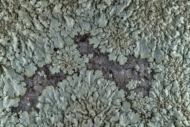 Pattern of peppered rock-shield lichen (Xanthoparmelia conspersa) on a granite tomb in City Cemetery. Bryan, Texas, March 3, 2019