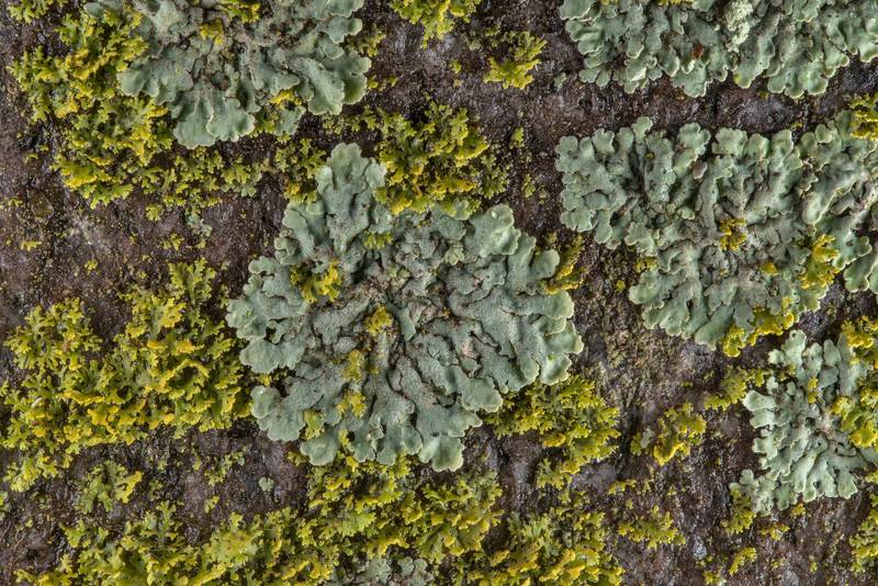 Sunburst lichen Xanthomendoza weberi together with Physcia on a tomb in City Cemetery. Bryan, Texas, March 3, 2019