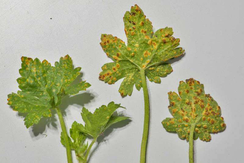 Leaves of Carolina bristlemallow (Modiola caroliniana) with blister-like pustules of rust fungus Puccinia modiolae taken from a lawn near apartments on George Bush Drive. College Station, Texas, March 11, 2019