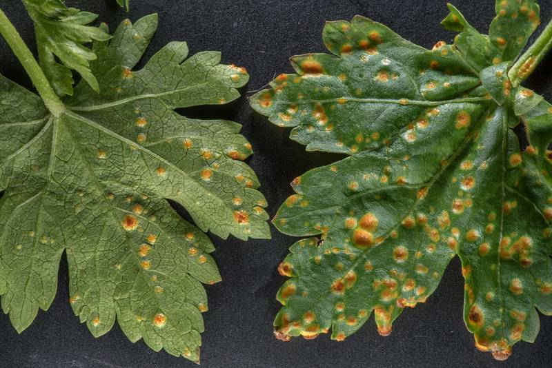 Blister-like pustules on underside and yellow-orange sunken spots on upper leaf surface of Geranium carolinianum caused by hollyhock or mallow rust fungus (Puccinia malvacearum), taken from a lawn near apartments on George Bush Drive. College Station, Texas, March 13, 2019