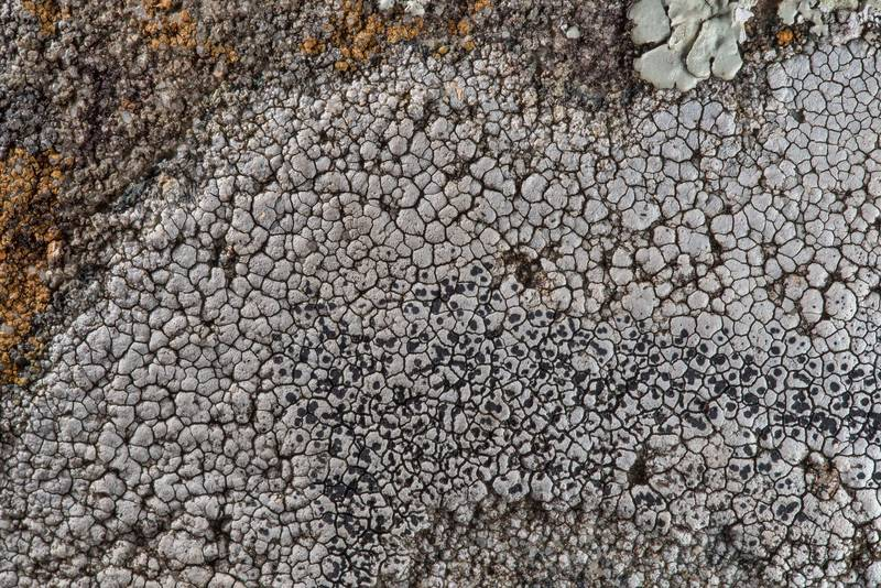 Aspicilia(?) lichen on a sandstone near Lost Pines Overlook in Bastrop State Park. Bastrop, Texas, March 14, 2019