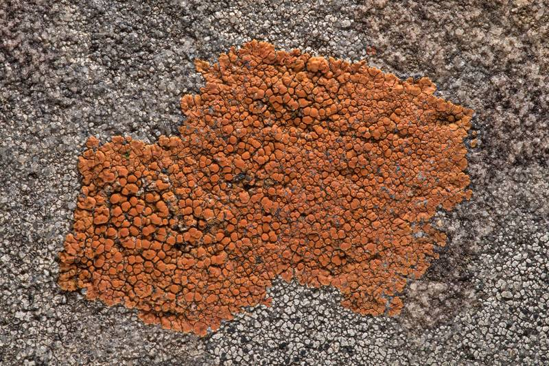 Firedot lichen Caloplaca squamosa on sandstone near Lost Pines Overlook in Bastrop State Park. Bastrop, Texas, March 14, 2019