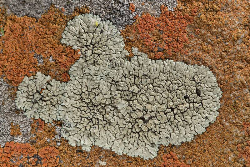 Stonewall rim-lichen (Lecanora muralis) with Caloplaca squamosa on sandstone near Lost Pines Overlook in Bastrop State Park. Bastrop, Texas, March 14, 2019